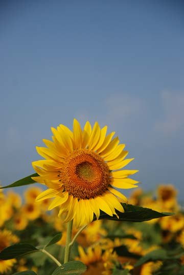 8051sunflower.jpg