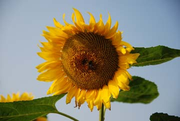 8052sunflower.jpg