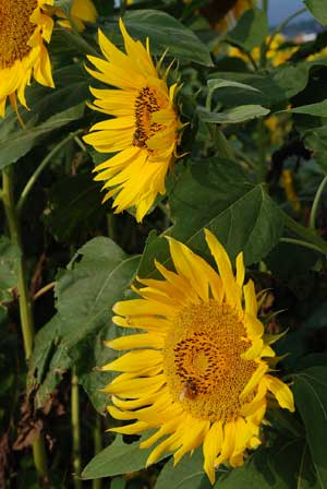806sunflower.jpg